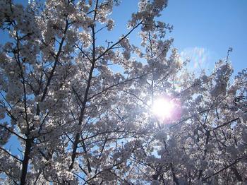 桜(四ツ木).JPG