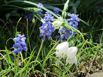 白いお花と青いお花.JPG